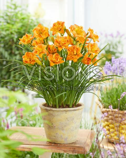 Hemerocallis Double Orange - 43247
