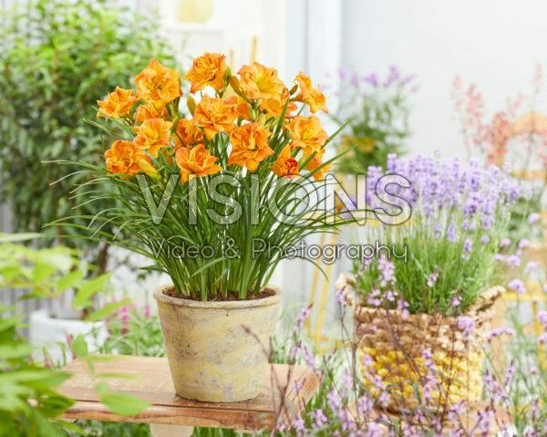 Hemerocallis Dubbel Oranje - 43247