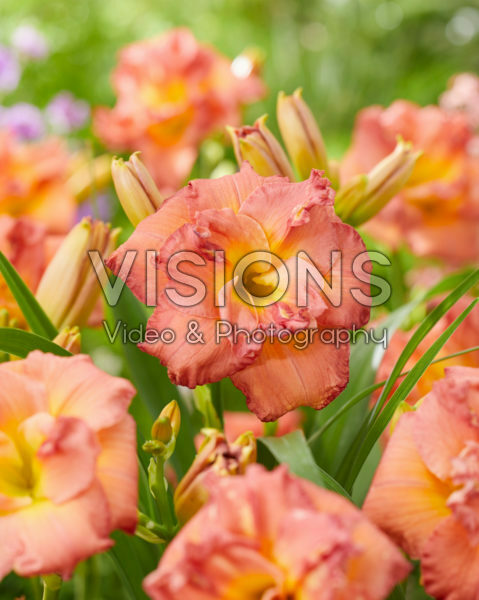 Hemerocallis Double Rose - 43265