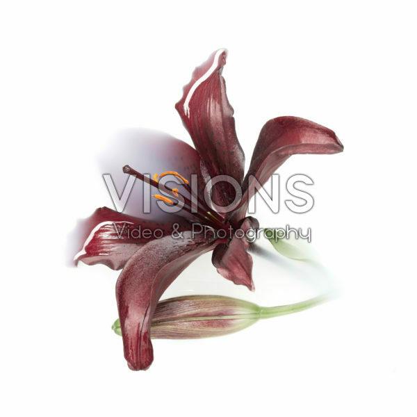 Lilium bloem