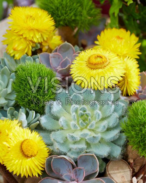Helichrysum en Echeveria arrangement