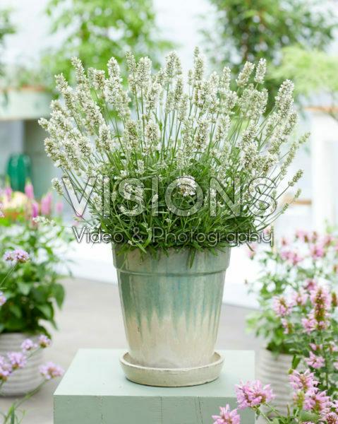 Lavandula angustifolia BeeZee White
