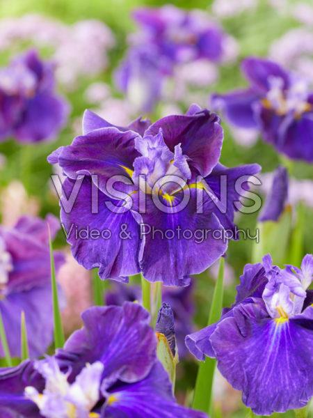 Iris ensata Hem Celt