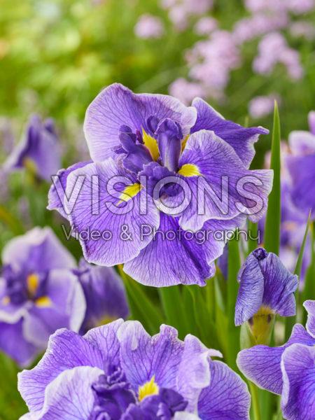 Iris ensata Hem Ceat