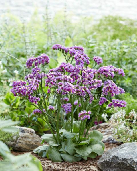 Limonium Sinzii™ Lavenderish