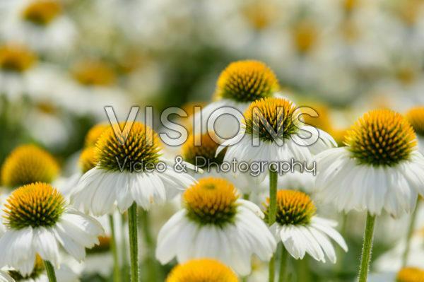 Echinacea Mooodz® Glory