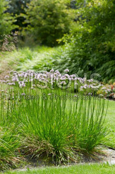 Allium Summer Beauty