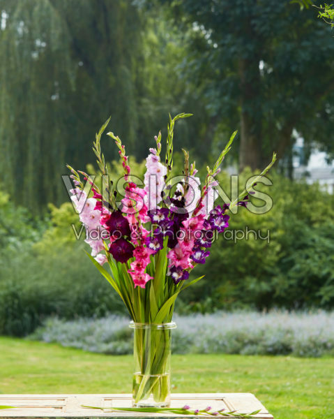 Gladiolus Purple and Pink Mix
