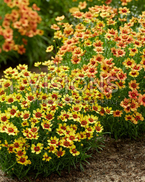 Coreopsis Twinklebells® Copper, Sunrise