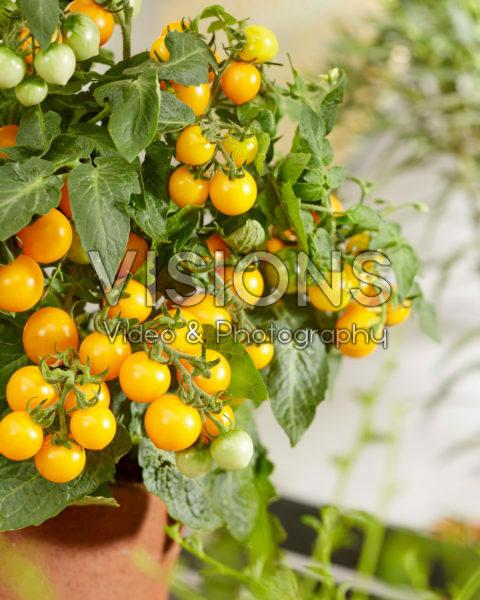 Solanum lycopersicum James F1 Yellow