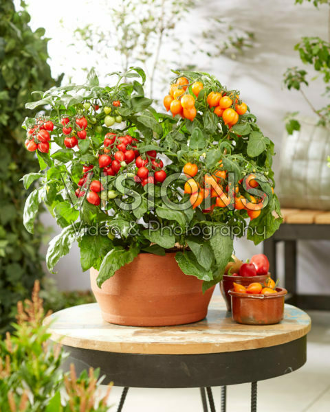 Solanum lycopersicum Heartbreakers™ F1 Dora Orange, Dora Red
