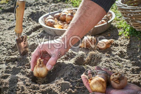 Narcissenbollen planten