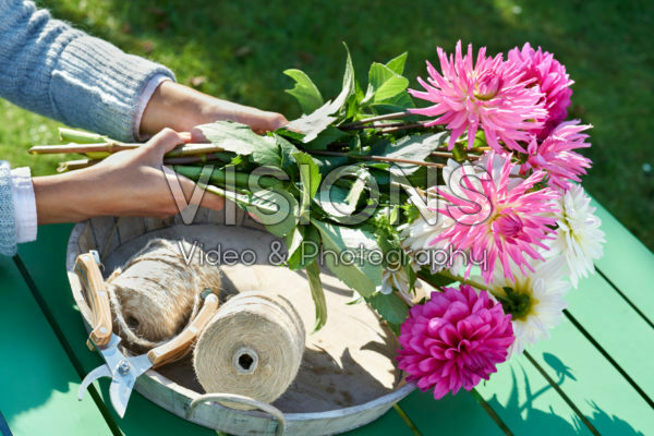 Collecting dahlia flowers