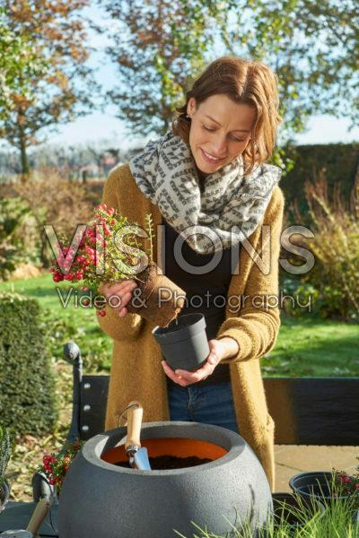 Planting Gaultheria mucronata