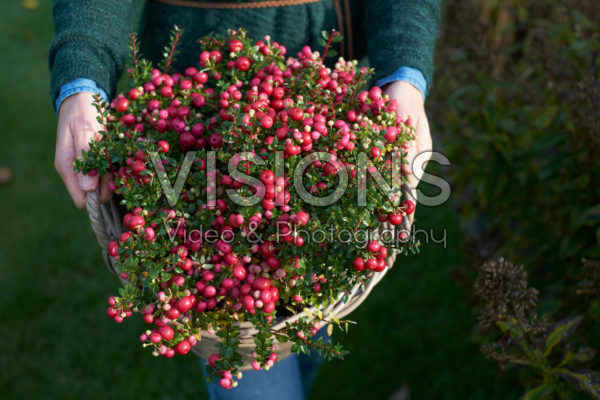 Gaultheria mucronata in basket