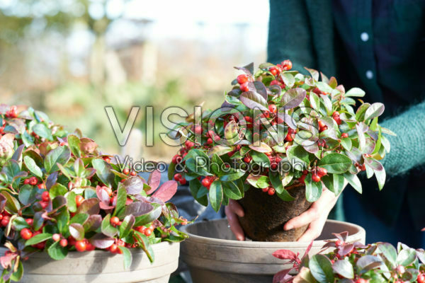 Gaultheria procumbens planten