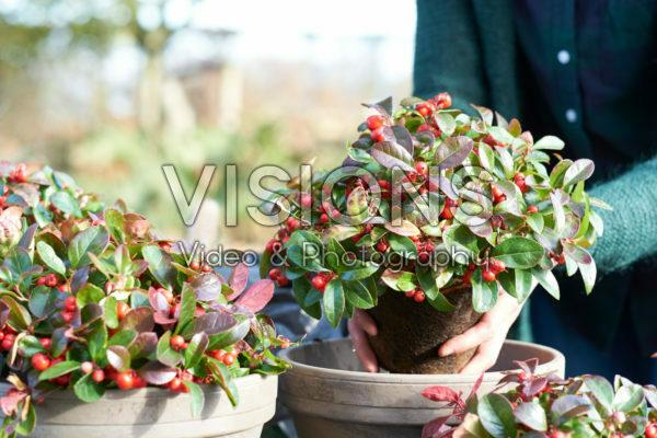 Planting Gaultheria procumbens