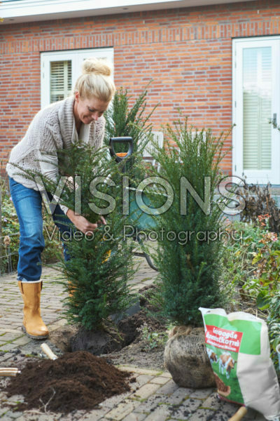 Lady planting Taxus