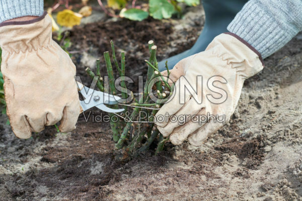 Planting bare rooted roses
