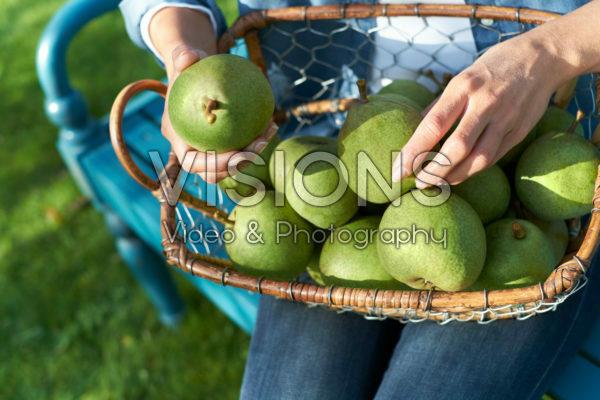 Harvested pears