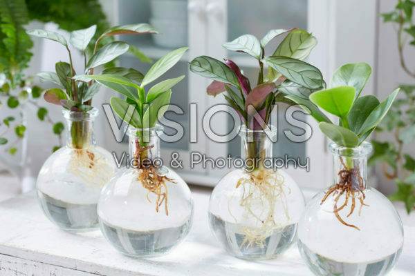 Calathea and Clusia in glass vases