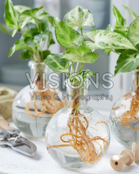 Syngonium in glazen vazen