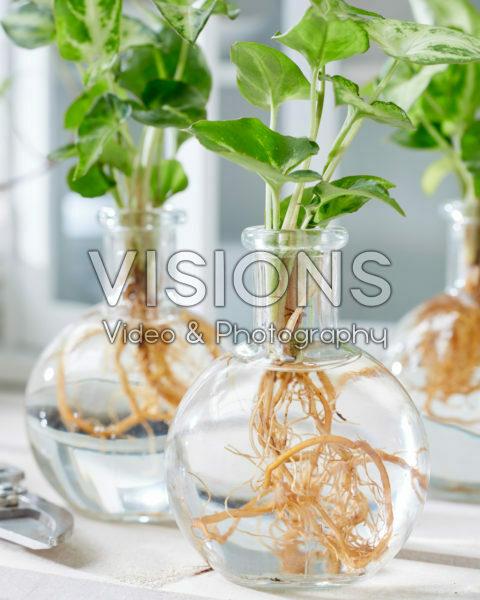 Syngonium in glass vases
