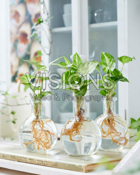 Syngonium in glass vases