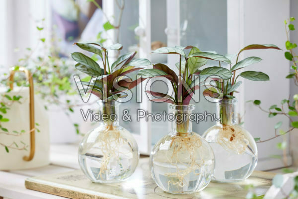 Calathea in glass vases