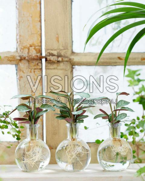 Calathea in glazen vaasjes