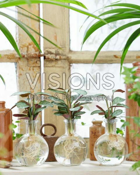 Calathea in glass vases