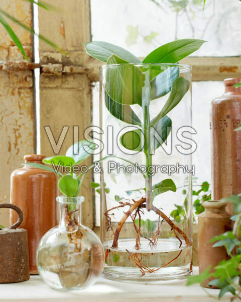 Clusia in glass vases