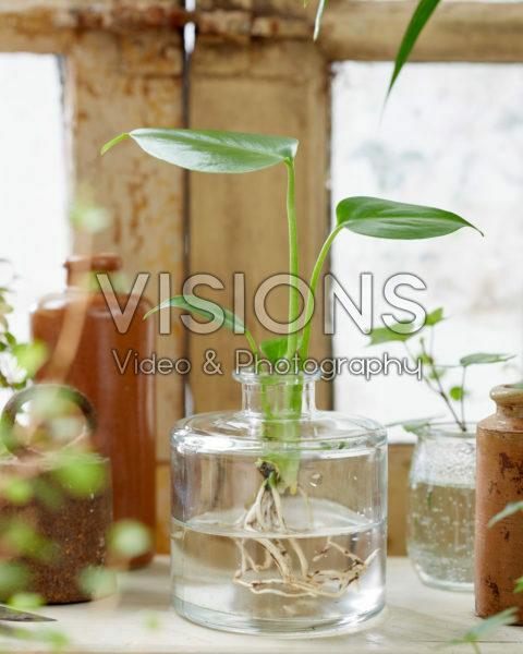 Monstera deliciosa in glass vase