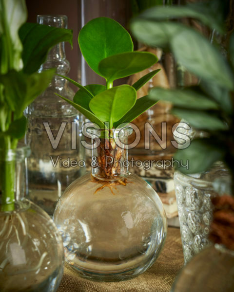Clusia in glass vase
