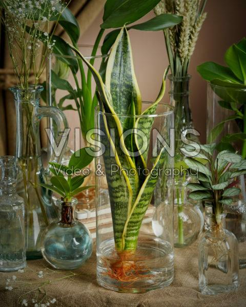 Sansevieria in glass vase