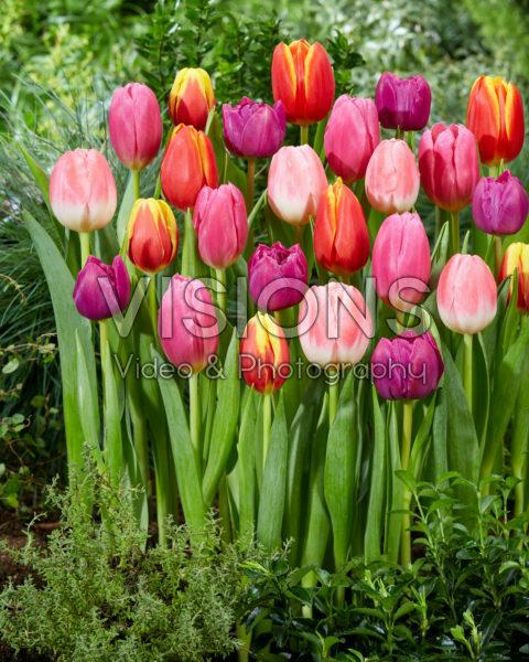 Tulipa colourful mix