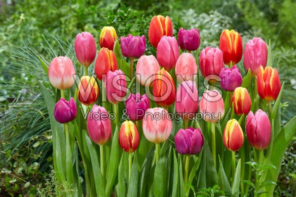 Tulipa kleurrijke mix