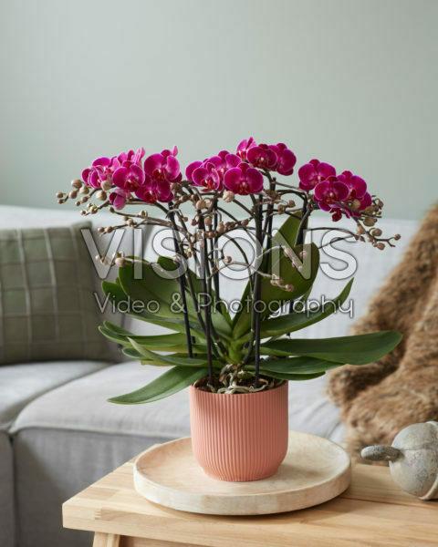 Phalaenopsis Bellissimo Amore