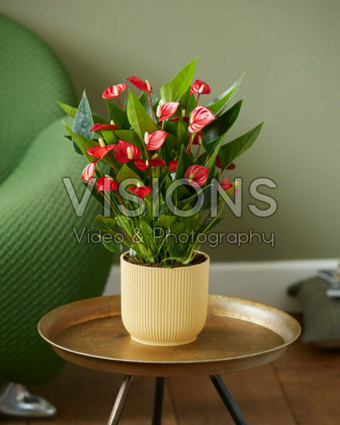 Anthurium andreanum Million Flowers