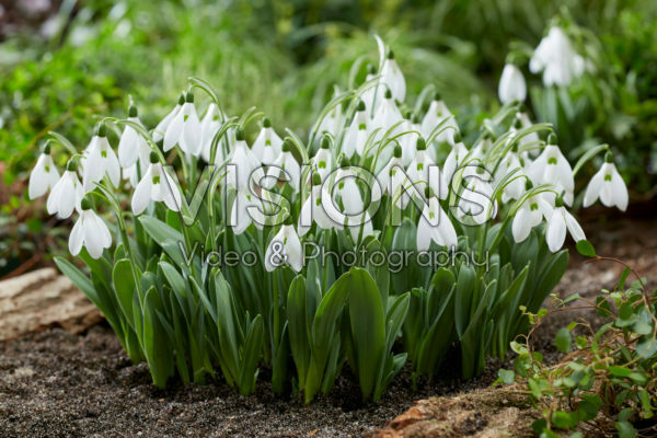 Galanthus elwesii Mount Everest®