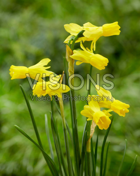 Narcissus Little Emma