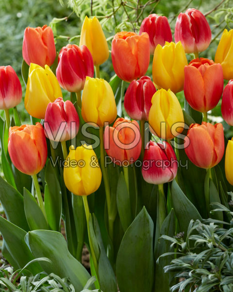 Tulipa Golden Ticket, Time Out, With Love