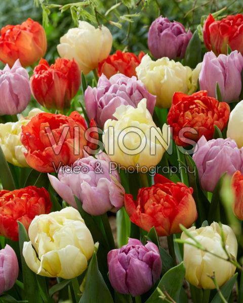 Tulipa Ippon, Katinka, Kiteman