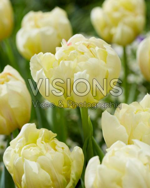 Tulipa Ippon