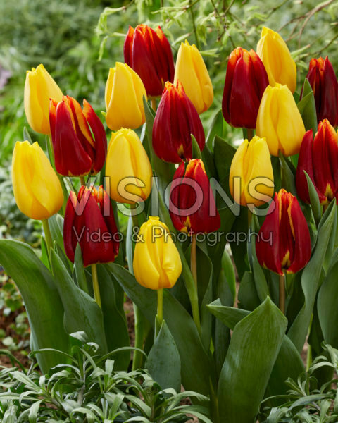 Tulipa Golden Ticket, Prestige