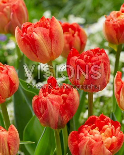 Tulipa Kiteman
