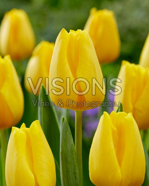 Tulipa Golden Ticket