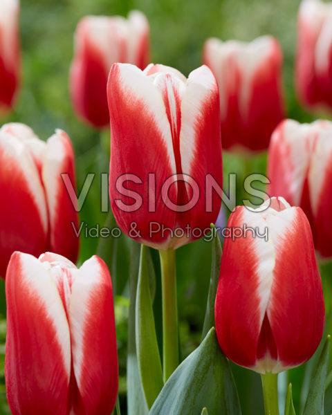 Tulipa Balance