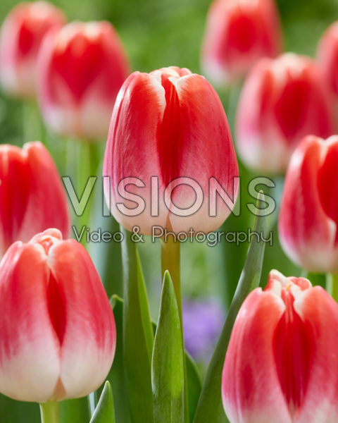 Tulipa With Love