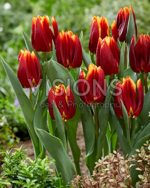 Tulipa Prestige